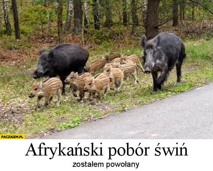 Afrykański pobór świń zostałem powołany dzik dziki