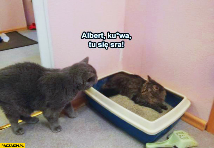 Albert kurwa tu się sra kot leży w kuwecie
