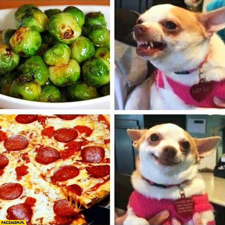 Brukselka piesek warczy pizza zadowolony pies