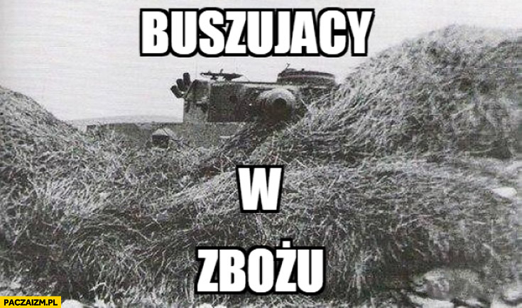 Buszujący w zbożu czołg