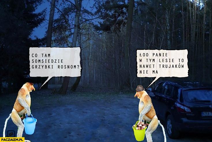 Co tam sąsiedzie grzybki rosną? Ło panie w tym lesie to nawet trujaków nie ma. Typowy Polak małpa nosacz grzybobranie w lesie