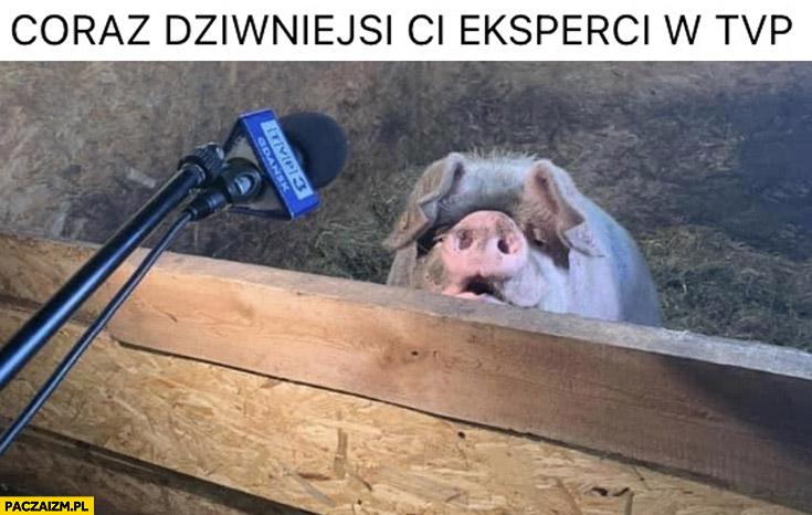 Coraz dziwniejsi ci eksperci TVP świnia prosiak