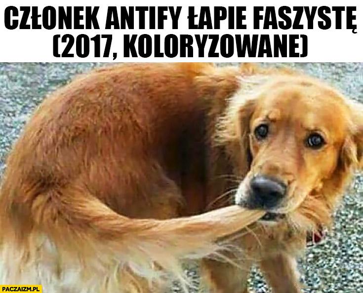 Członek antify łapie faszystę (2017, koloryzowane) pies gryzie się w ogon