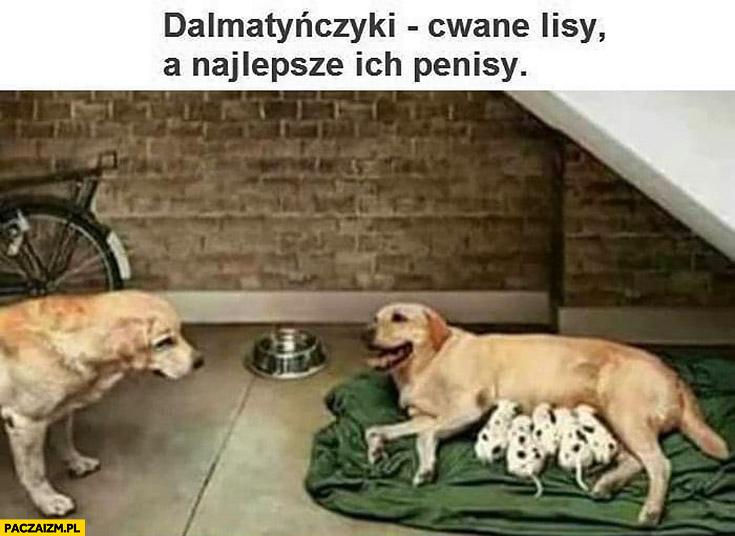 Dalmatyńczyki cwane lisy a najlepsze ich przyrodzenia pies karmi nie swoje szczeniaki