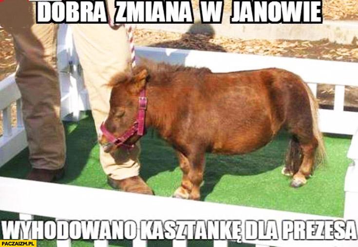Dobra zmiana w Janowie wyhodowano kasztankę dla prezesa mały koń kuc