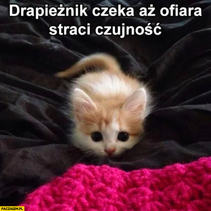 Drapieżnik czeka aż ofiara straci czujność słodki kotek