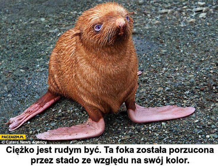 Foka porzucona przez stado ze względu na rudy kolor