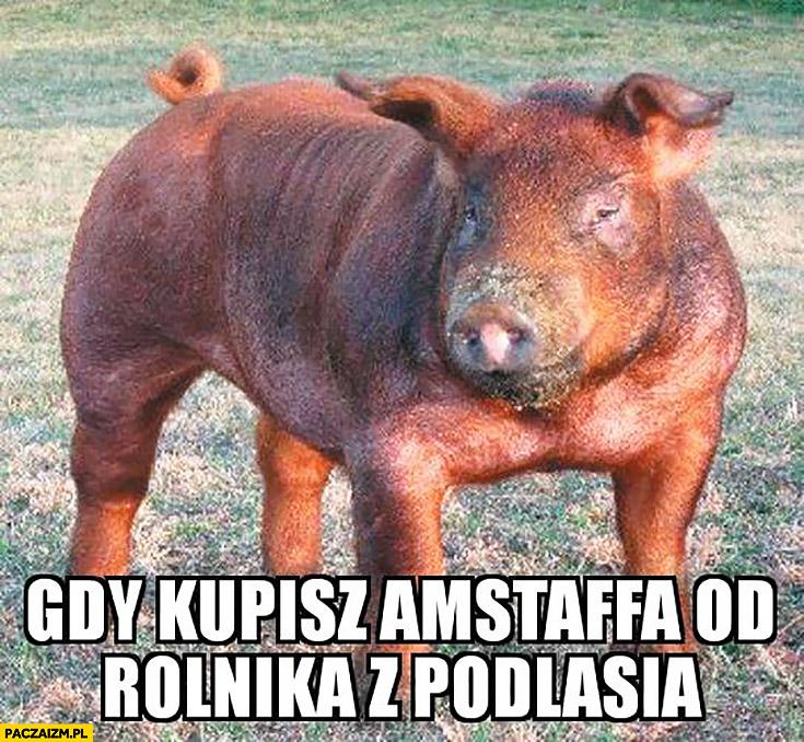 Gdy kupisz Amstaffa od rolnika z Podlasia świnia