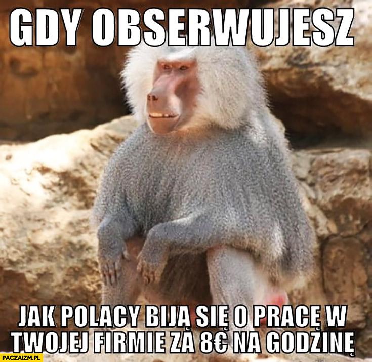 Gdy obserwujesz jak Polacy biją się o pracę w Twojej firmie za 8 euro za godzinę typowa małpa Niemiec nosacz