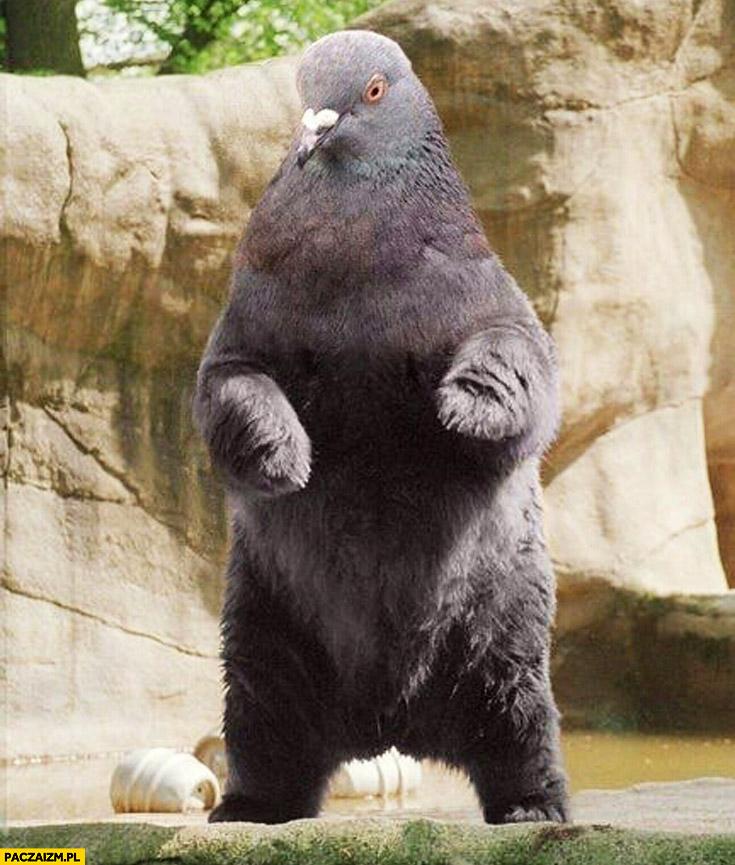 Gołąbiedź niedźwiedź gołąb