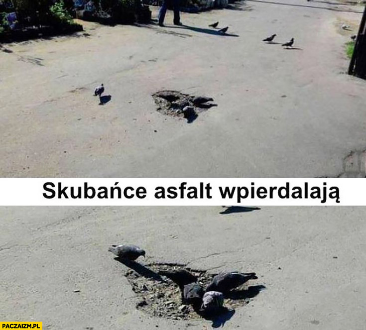 Gołębie skubańce asfalt wpierdzielają