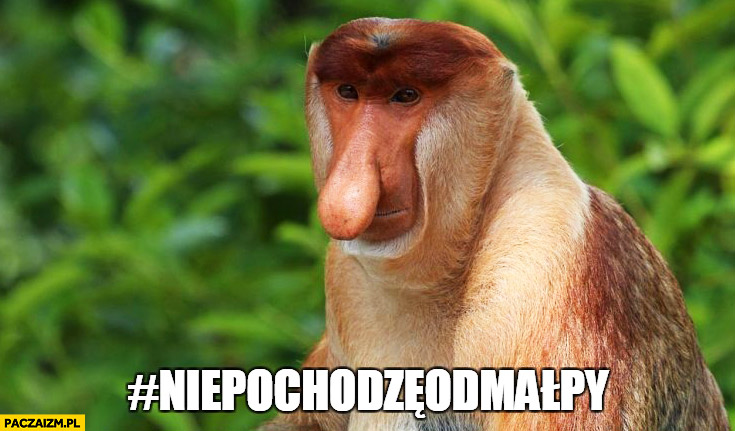 Hashtag nie pochodzę od małpy typowy Polak nosacz małpa