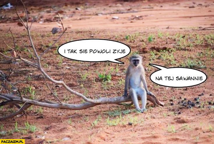 I tak się powoli żyje na tej sawannie małpa małpka
