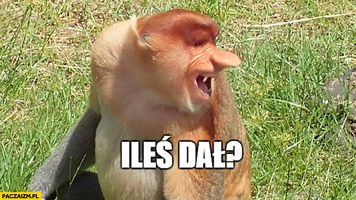 Ileś dal typowy Polak nosacz małpa