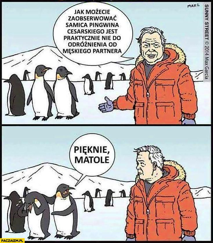 Jak możecie zaobserwować samica pingwina cesarskiego jest praktycznie nie do odróżnienia od męskiego partnera, płacze, pięknie matole