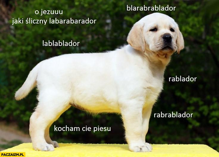 Jaki śliczny labarabarador blarabrablador lablablador rablador rabrablador kocham Cię piesu pies