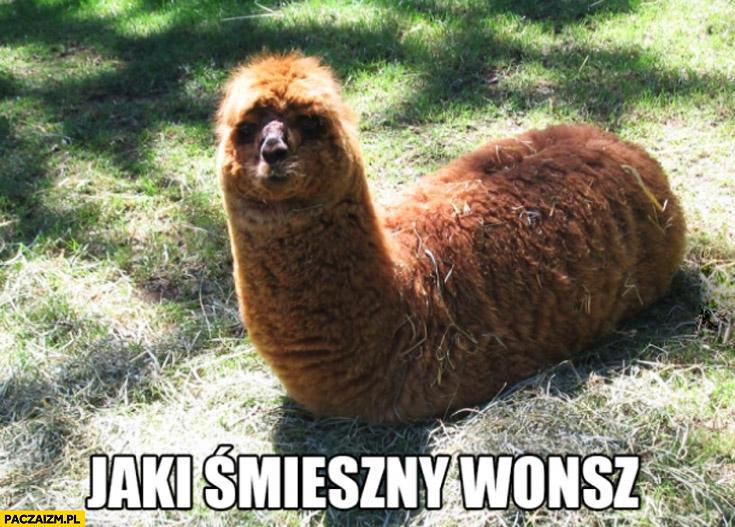 Jaki śmieszny wonsz lama
