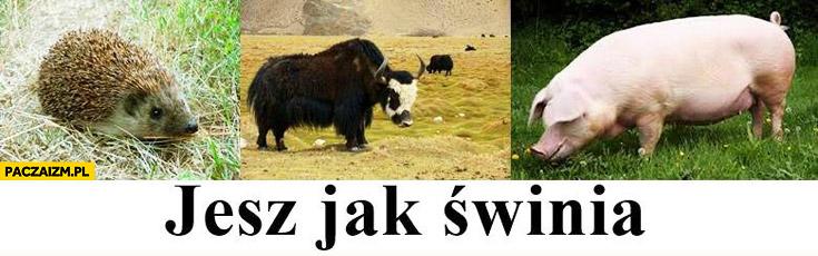 Jesz jak świnia jeż yak prosiak zwierzęta