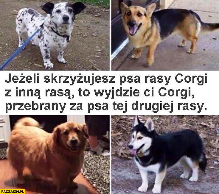 Jeżeli skrzyżujesz psa rasy corgi z inną rasą to wyjdzie Ci corgi przebrany za psa tej drugiej rasy