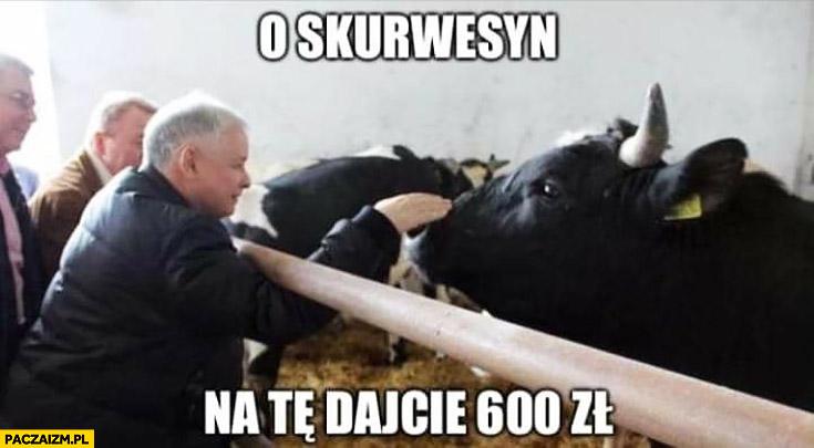 Kaczyński krowa o skurwesyn na te dajcie 600 zł