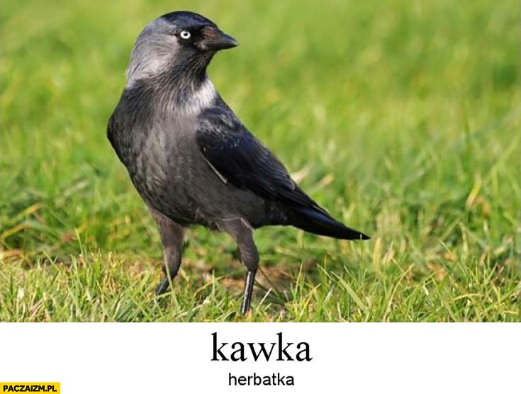 Kawka herbatka ptak