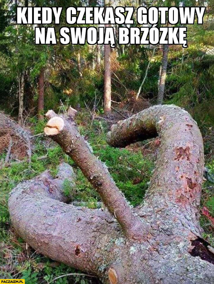 Kiedy czekasz gotowy na swoja brzózkę drzewo konar gałąź dwuznacznie wygląda