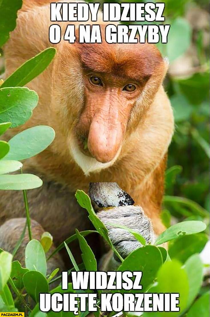 Kiedy idziesz o 4 na grzyby i widzisz ucięte korzenie typowy Polak nosacz małpa
