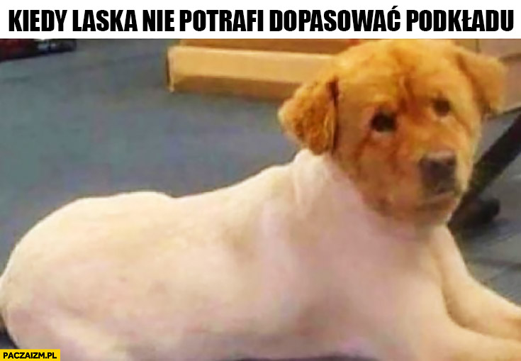 Kiedy laska nie potrafi dopasować podkładu ogolony pies