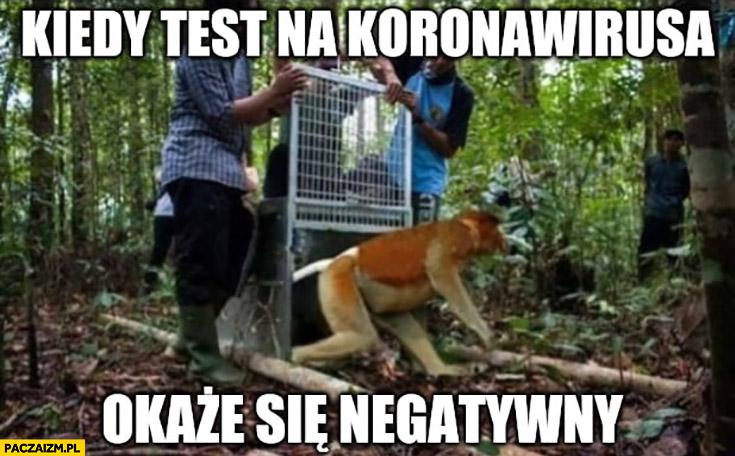 Kiedy test na koronawirusa okaże się negatywny małpa nosacz wypuszczony na wolność z klatki kwarantanny