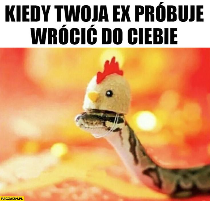 Kiedy twoja ex próbuje wrócić do Ciebie wąż z czapką kurczaczka kogucika kury