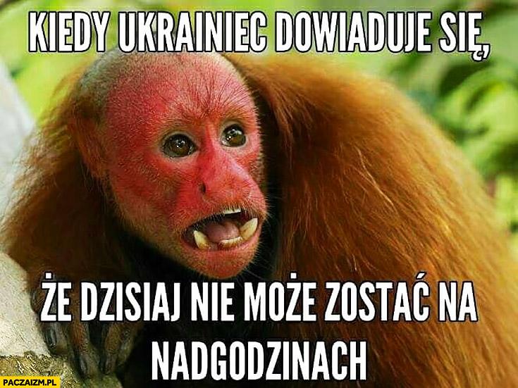 Kiedy Ukrainiec dowiaduje się, że dzisiaj nie może zostać na nadgodzinach typowy Polak nosacz małpa