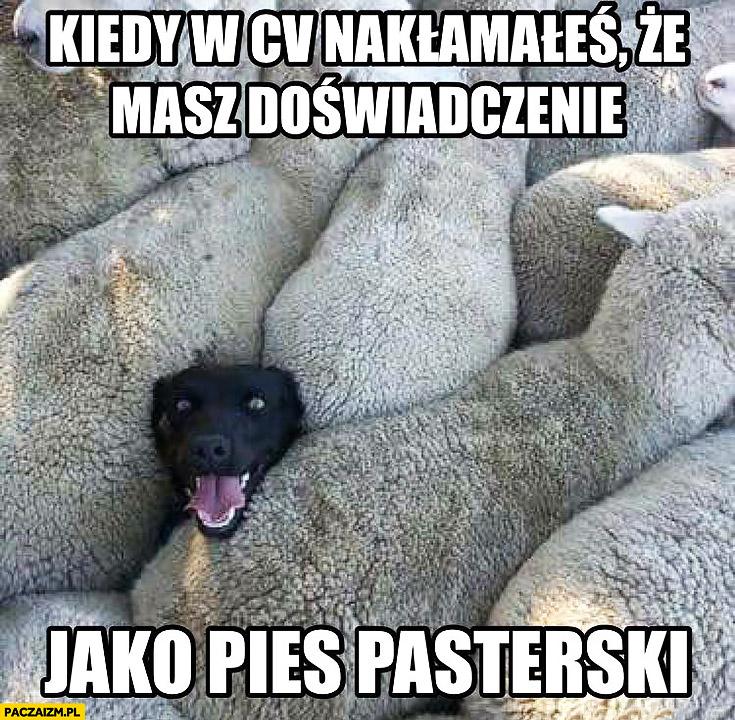 Kiedy w CV nakłamałeś, że masz doświadczenie jako pies pasterski szczęśliwy zadowolony wśród owiec