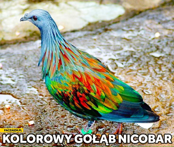 Kolorowy gołąb Nicobar