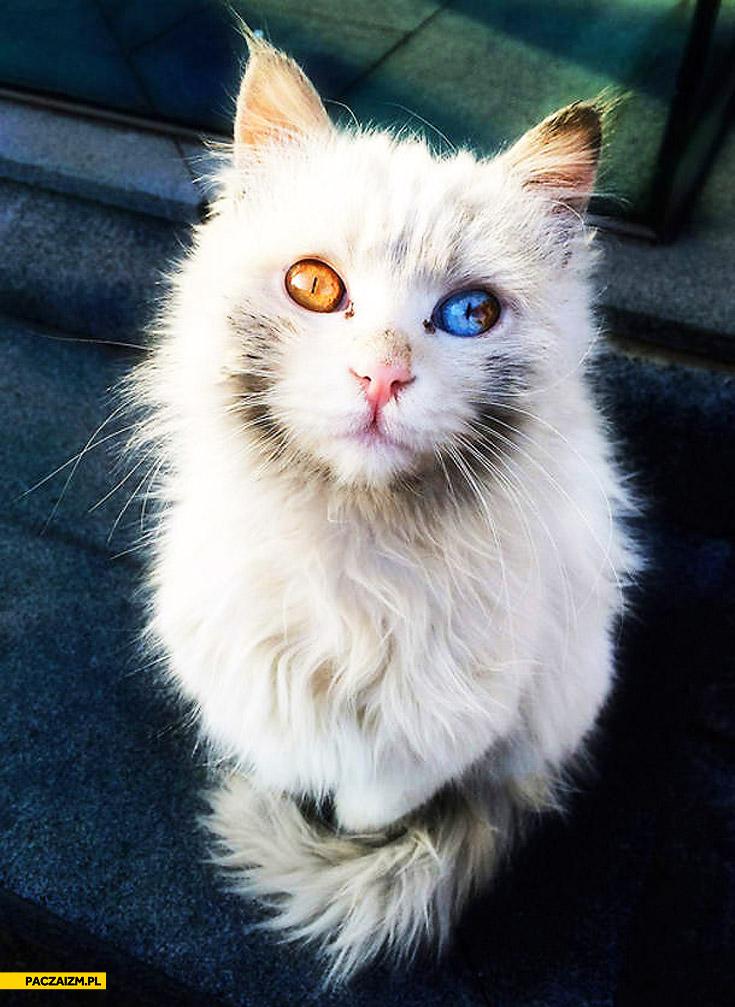 Kot różne kolory oczu