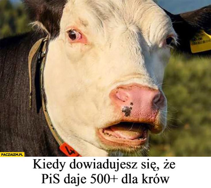 Krowa kiedy dowiadujesz się, że PiS daje 500 plus dla krów
