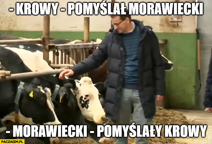 Krowy pomyślał Morawiecki pomyślały krowy