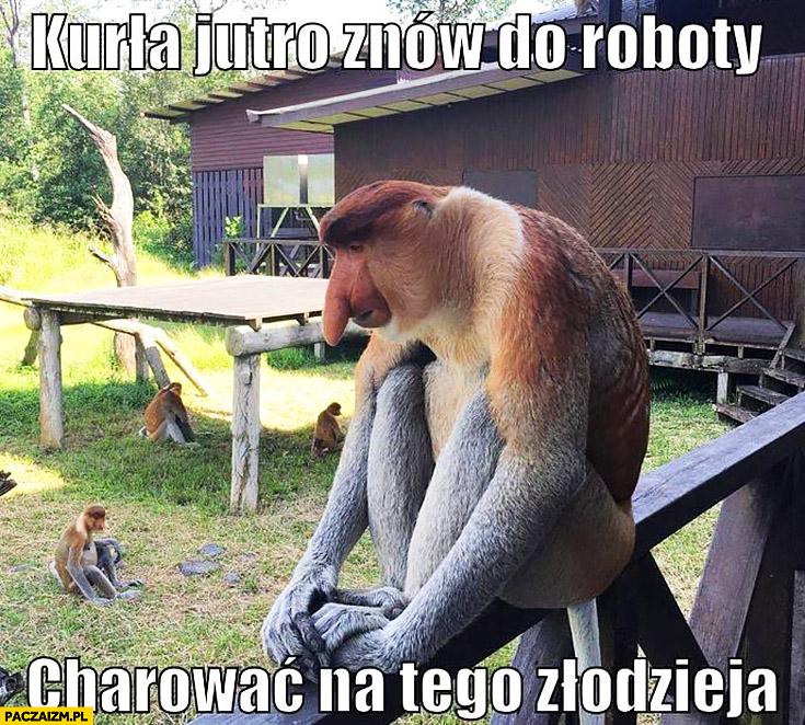 Kurła jutro znów do roboty harować na tego złodzieja typowy Polak nosacz małpa