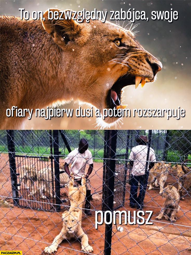 Lew zabójca swoje ofiary najpierw dusi potem rozszarpuje pomusz