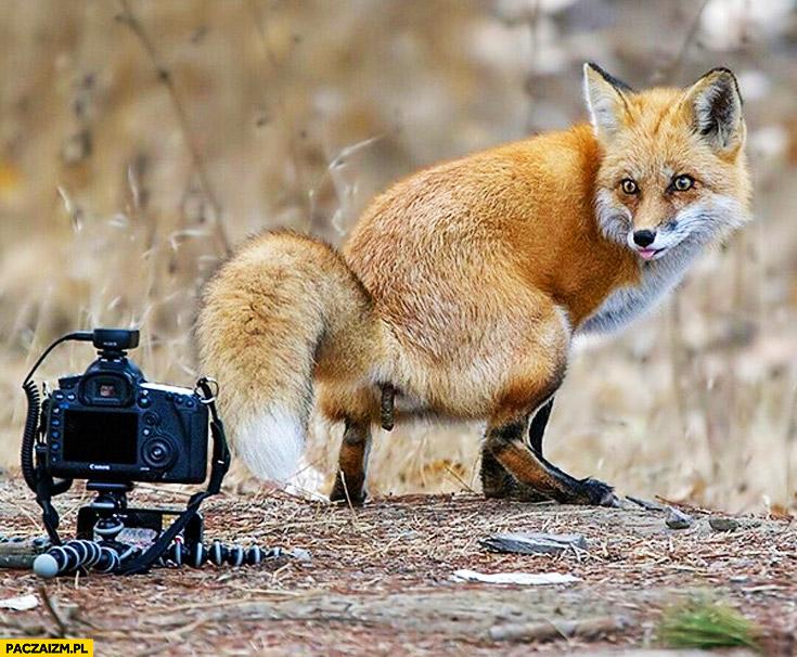 Lis sra robi kupę przed aparatem