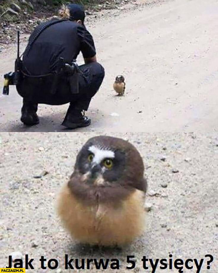 Mała sowa policjant jak to kurna 5 tysięcy mandatu?