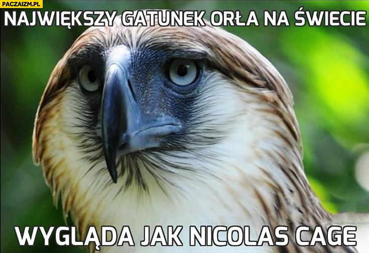 Największy gatunek orła na świecie wygląda jak Nicolas Cage