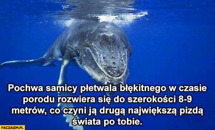 Narządy rozrodcze samicy płetwala błękitnego w trakcie porodu osiągają 9 metrów co czyni je drugą największą picza świata po Tobie