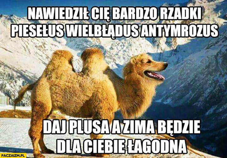 Nawiedził Cię bardzo rzadki piesełus wielbłądus antymrozus, daj plusa z zima będzie dla Ciebie łagodna pies wielbłąd