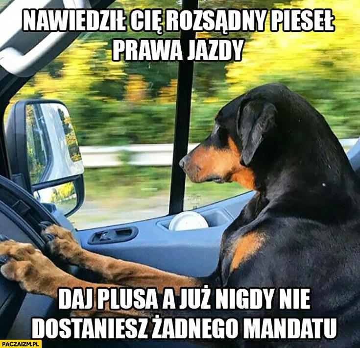 Nawiedził Cię rozsądny pieseł prawa jazdy, daj plusa a już nigdy nie dostaniesz żadnego mandatu pies kierowca