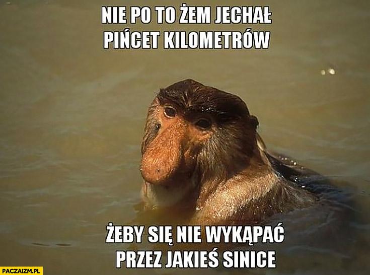 Nie po to żem jechał pięćset kilometrów żeby się nie wykąpać przez jakieś sinice typowy Polak nosacz małpa nad morzem