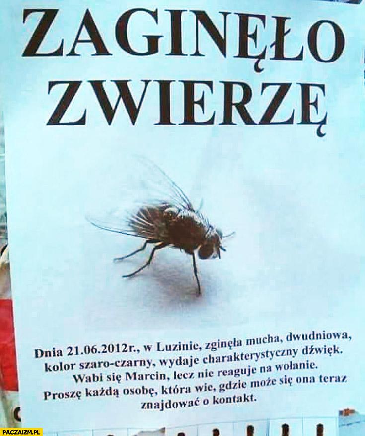 Ogłoszenie zaginęło zwierzę mucha wabi się Marcin