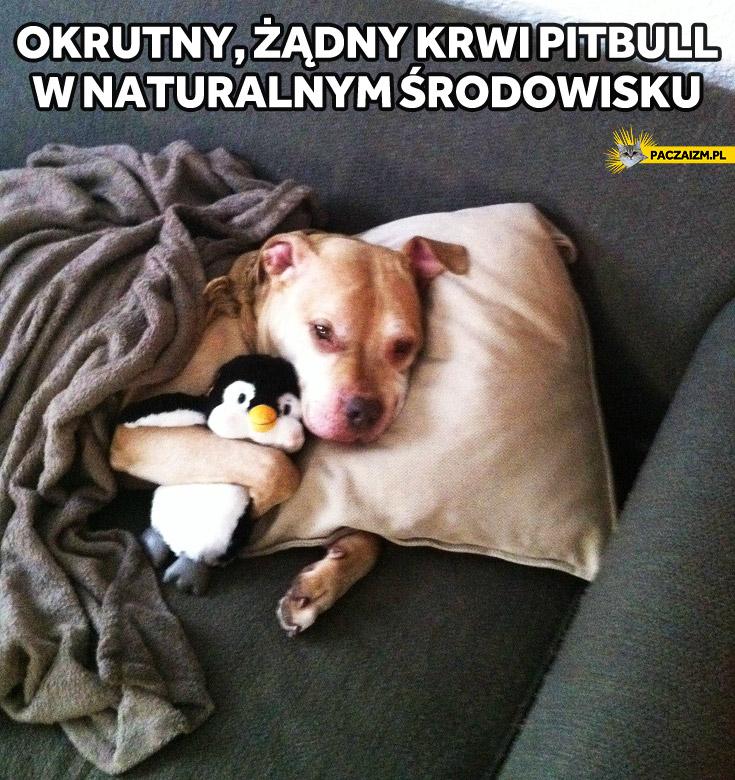 Okrutny żądny krwi pitbull w naturalnym środowisku