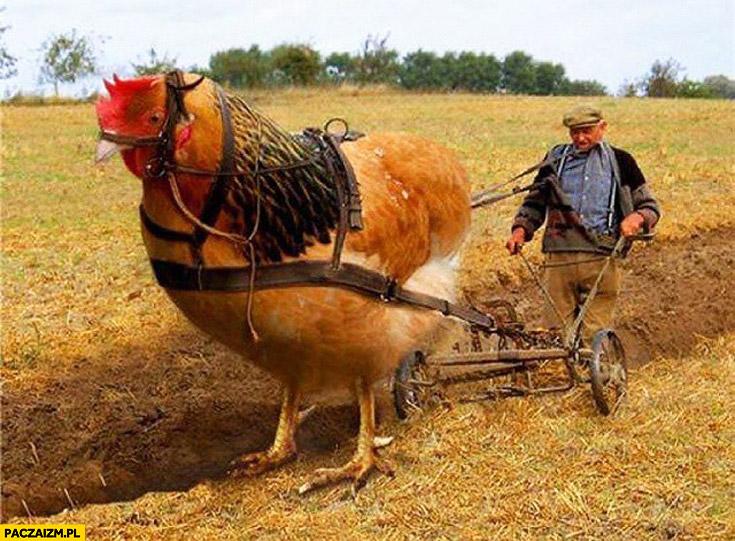 Oranie pola kura zamiast bawoła