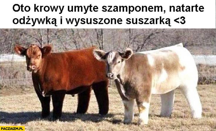 Oto krowy umyte szamponem, natarte odżywką i wysuszone suszarką