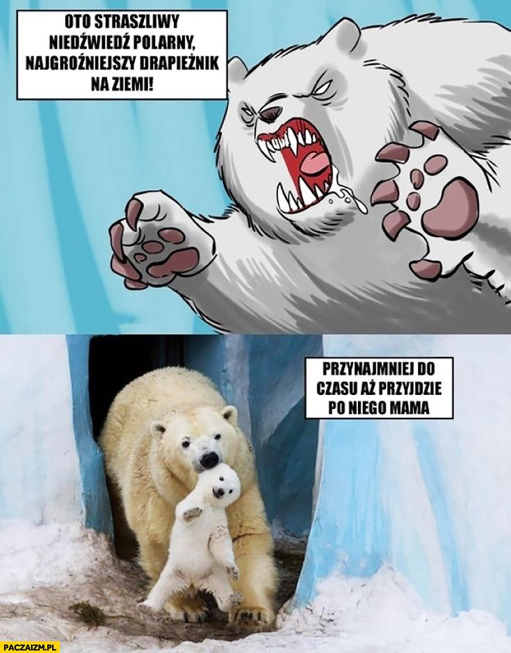 Oto straszliwy niedźwiedź polarny najstraszniejszy drapieżnik na ziemi, przynajmniej do czasu aż przyjdzie po niego mama